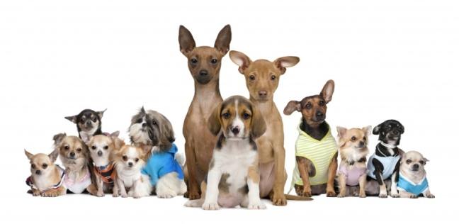 Welke-kleine-honden-zijn-er